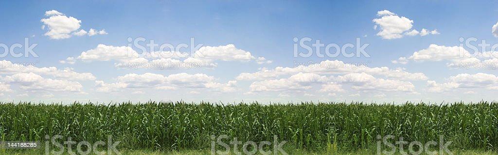 Mais-Feld panorama – Foto