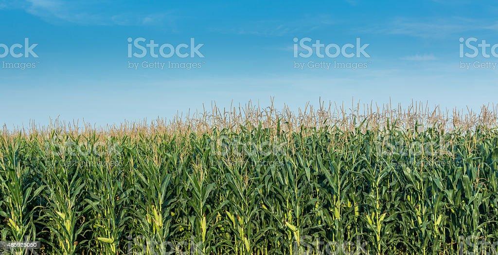 Corn filed under the sun stock photo
