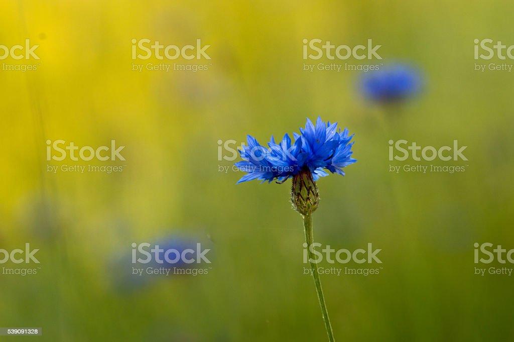 Corn flower, isolated stock photo