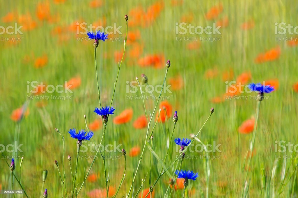 Corn flowers with rye and poppies in the background stock photo