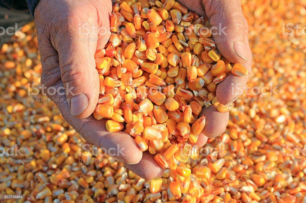 Grano de maíz en una mano - foto de stock