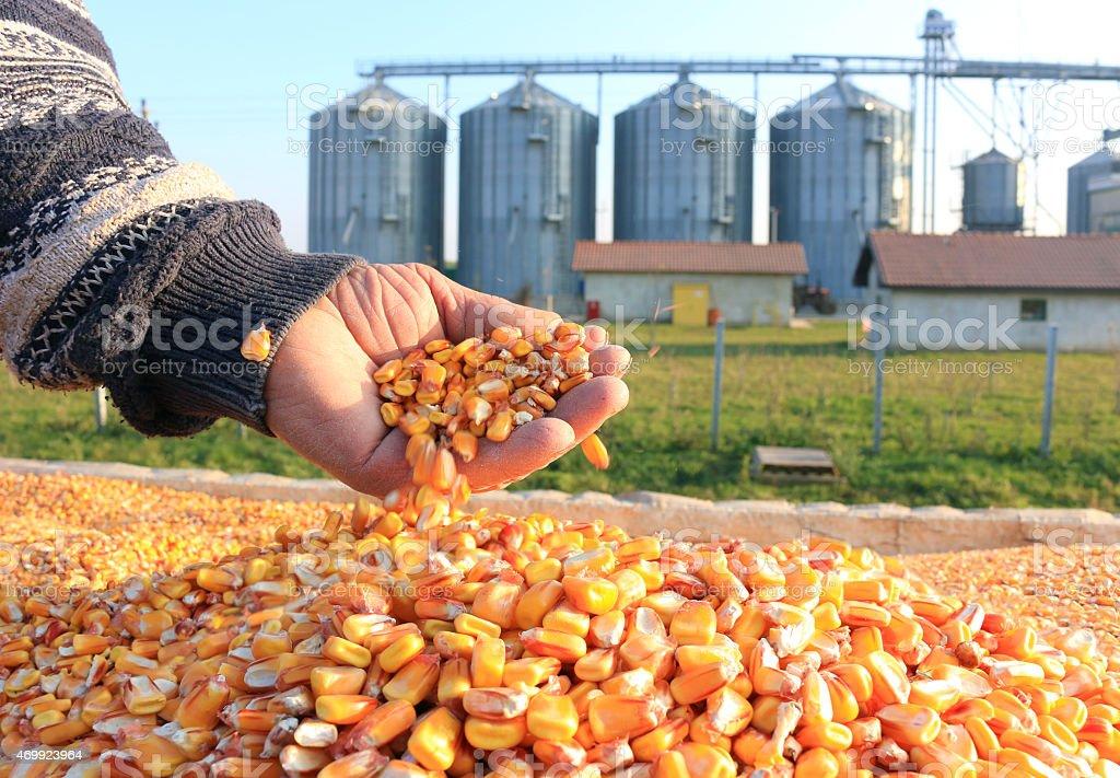 Grano de maíz del granjero acertado - foto de stock