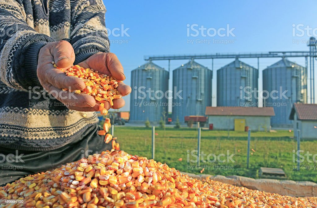 Corn grains in a hand of successful farmer after harvest