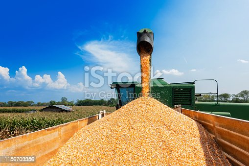 corn grains falling form combine harvesting in the truck with blue sky