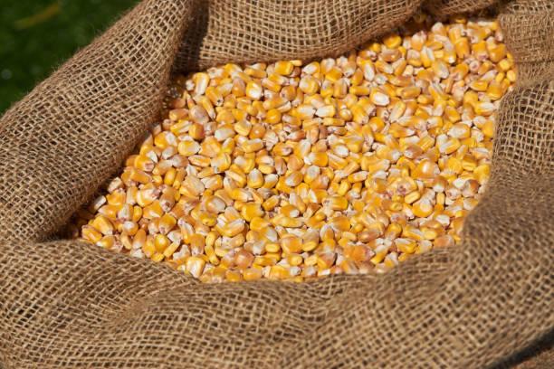玉米粒在麻袋, 特寫。在袋子裡幹未煮熟的玉米穀物。圖像檔