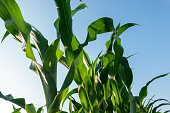 Corn grow in the agriculture field under blue sky low angle view
