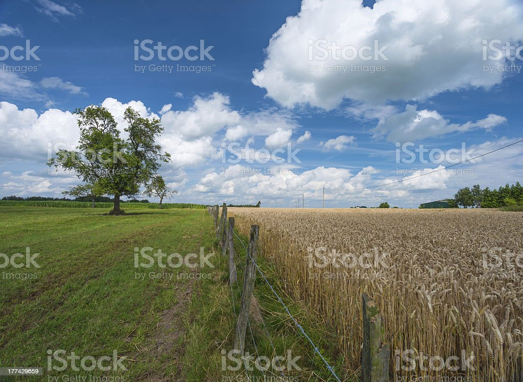 Corn growing on a field in summer stock photo