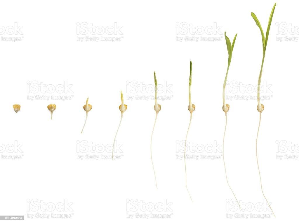 corn growing royalty-free stock photo