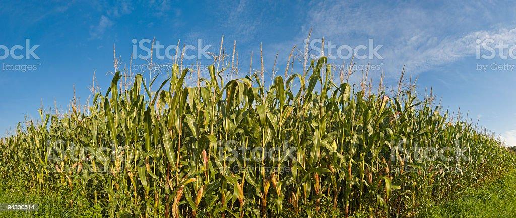 Corn growing tall royalty-free stock photo