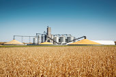 Subject: Storage grain bin silos in a field of matured corn crop in harvest time.