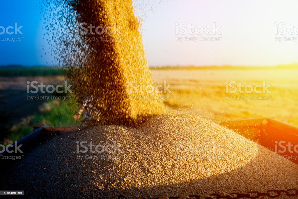 Corn harvest at golden wheat field in early summer morning stock photo