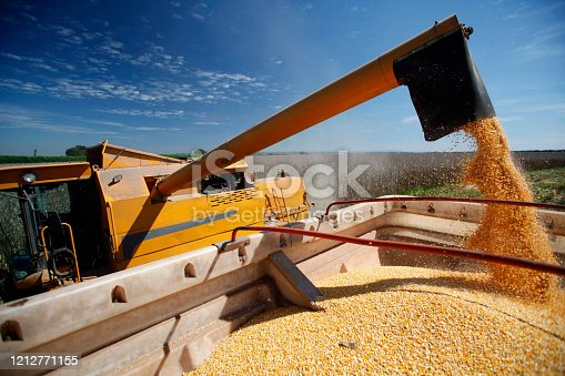 Pouring corn grain into tractor trailer after harvest on countryside of Brazil