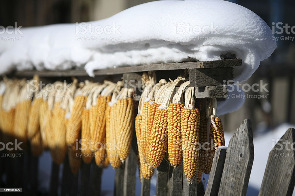 corn held on wooden fence in snow royalty-free stock photo