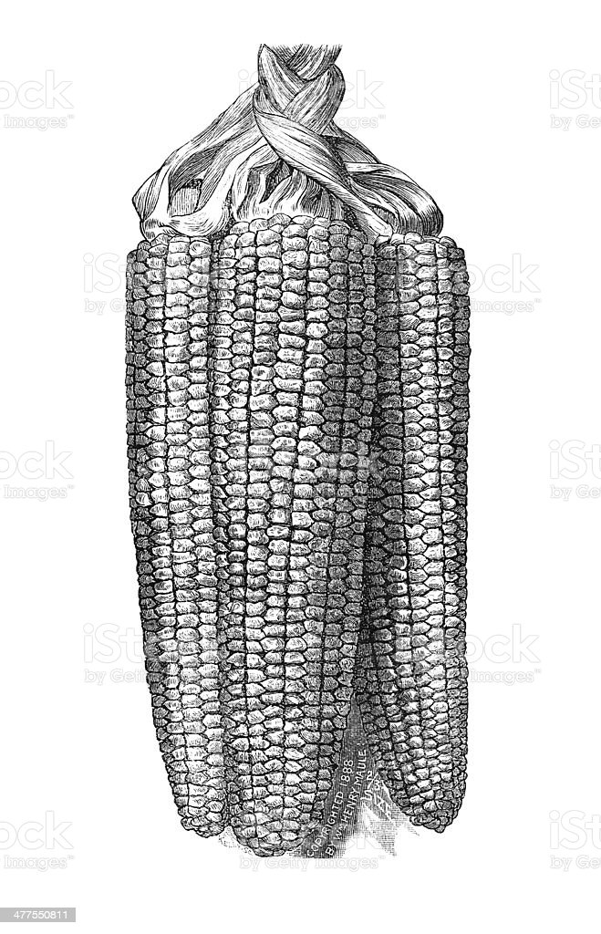 Corn Illustration stock photo