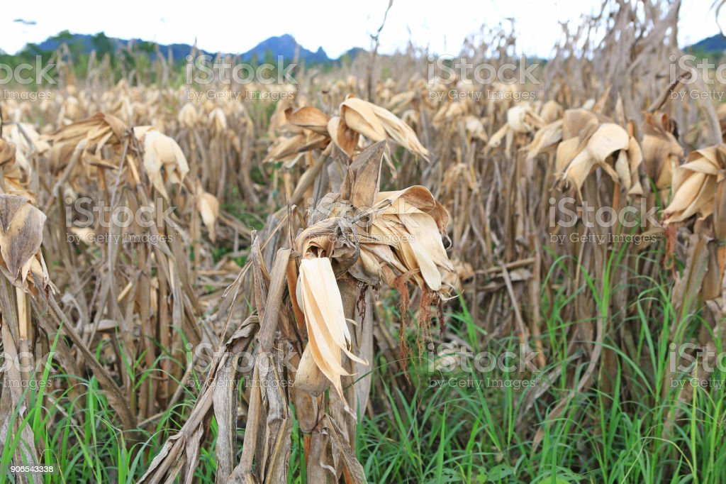 A corn in corn field after harvesting for background. stock photo