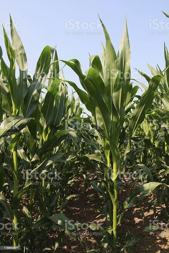 Corn im Juni Lizenzfreies stock-foto