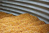 Animal feed corn, silage, dried corn feed in metal bin, silo, in Wisconsin, USA