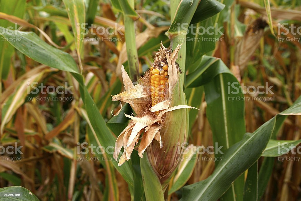 Corn in the field royalty free stockfoto