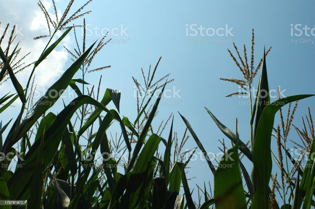 corn in the sky royalty-free stock photo