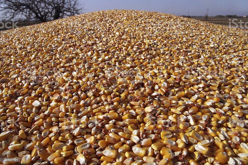 Corn kernels stock photo