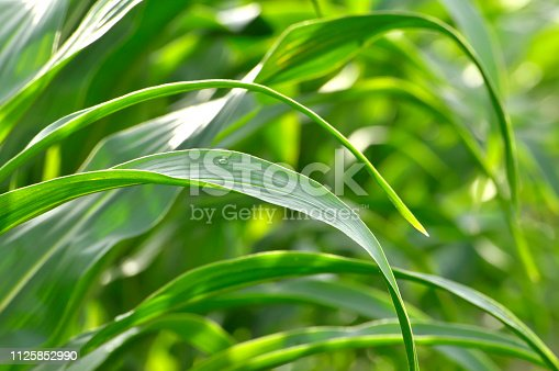 Corn Leaf Background