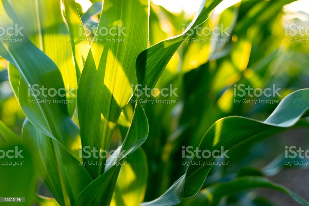 Corn Leaf Background stock photo