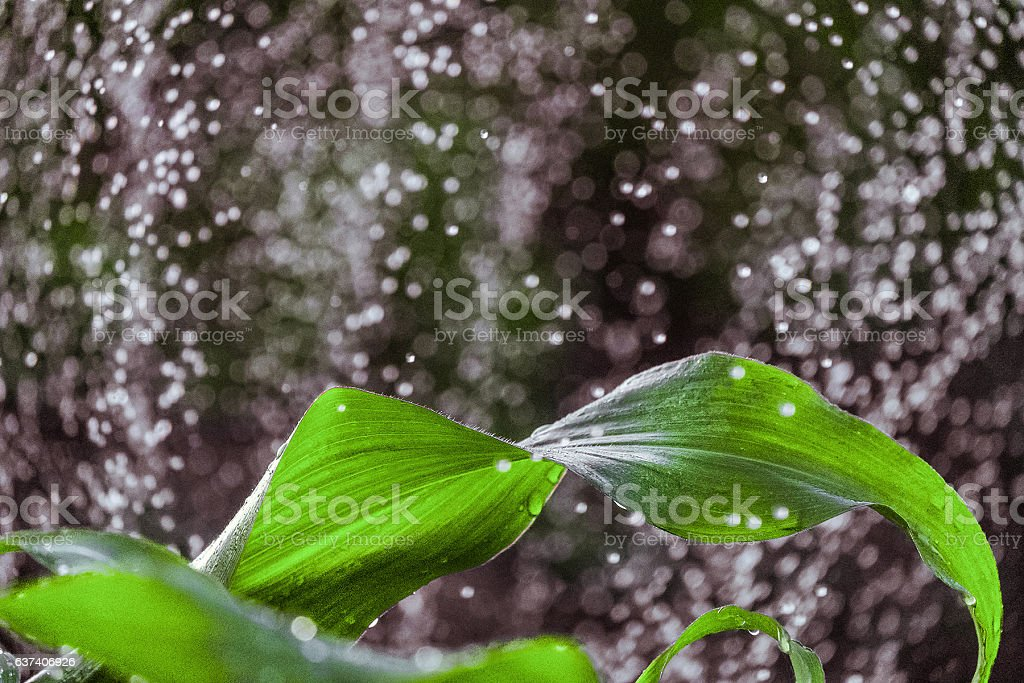 Corn leaf with blurred drops stock photo