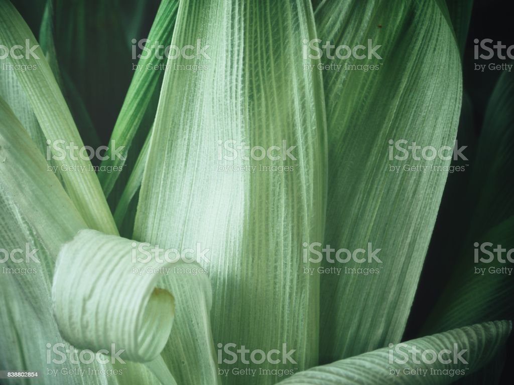 Corn leaves background stock photo
