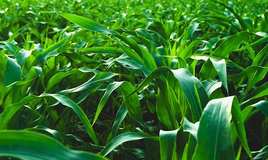 Corn leaves grow in intense dark colors.