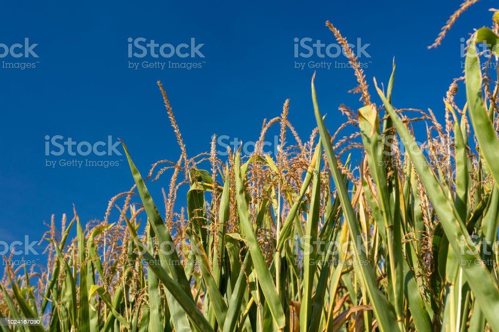 Von der Sonne beschienen Mais Blätter an einem heißen Sommertag mit einem schönen blauen Himmel im Hintergrund. – Foto