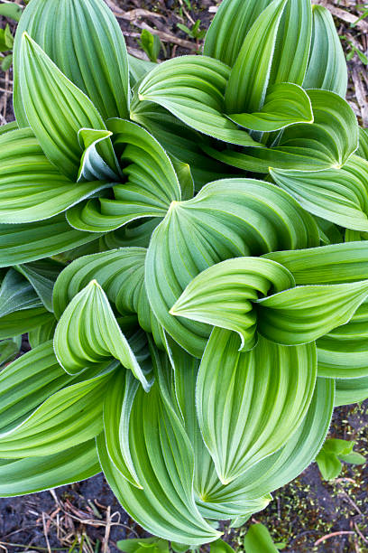 Corn Lily or False Hellebore Corn Lily or False Hellebore in Mt. Rainier National Park, Washington State. corn lilly stock pictures, royalty-free photos & images