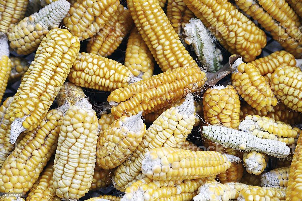 Corn Mais royalty-free stock photo