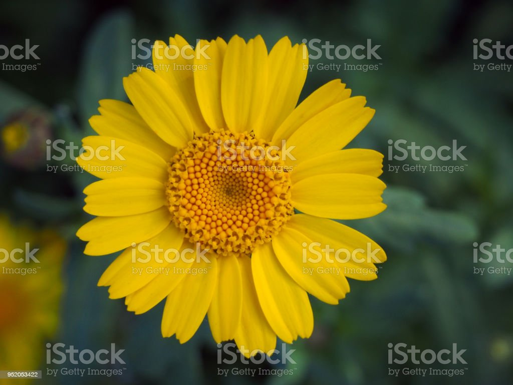 Corn Marigold In An English Meadow In Summer Stock Photo More