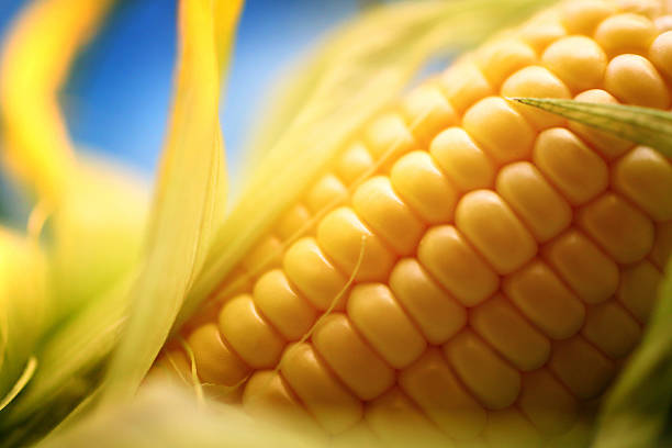 Corn on the cob, closeup. stock photo