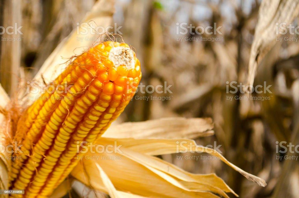 Maïs op de kolf, close-up - Royalty-free Blad Stockfoto