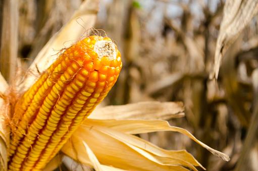 Maïs Op De Kolf Closeup Stockfoto en meer beelden van Blad