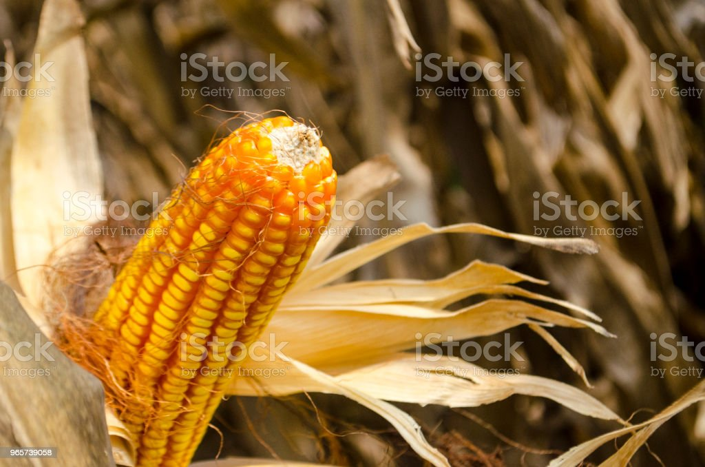 Corn on the cob, closeup - Royalty-free Agriculture Stock Photo