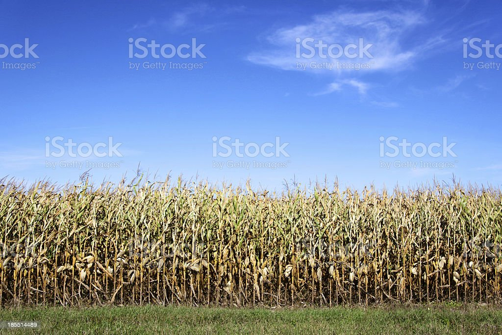 Corn on the cob ready for harvest royalty-free stock photo