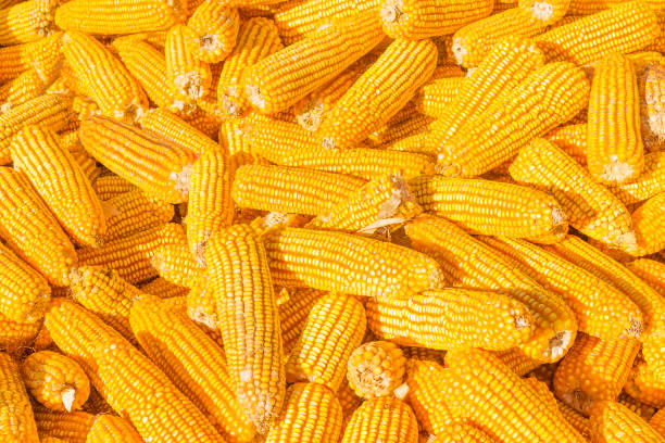 Corn on the Cob texture corn texture background sweetcorn stock pictures, royalty-free photos & images