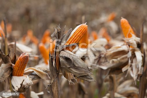 Corn on the field in time of harvest. Background of fresh corn in the nature.