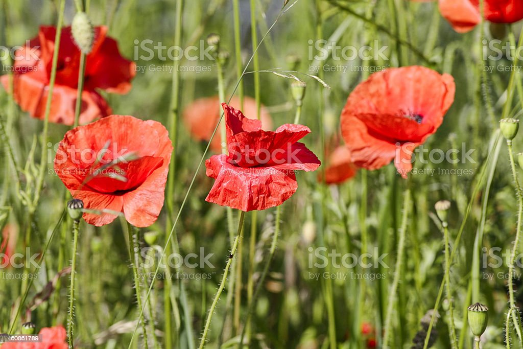 Corn or Flanders poppy flowers Papaver rhoeas royalty-free stock photo