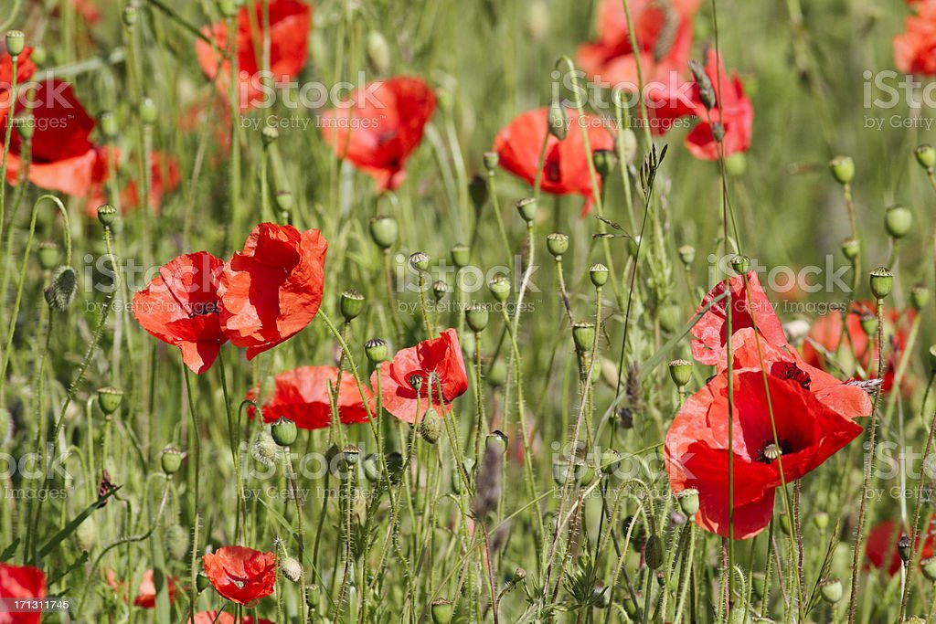 Field of red poppies Papaver rhoeas impression royalty-free stock photo