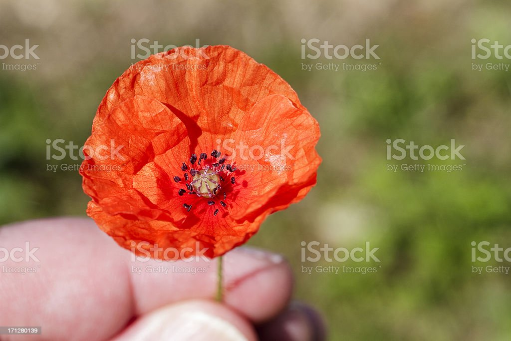 Red long-headed poppy Papaver dubium held in fingers royalty-free stock photo