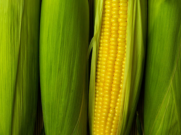 A corn peeled revealing its yellow cob stock photo