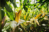 CornCorn field ready for harvest. End of the season.