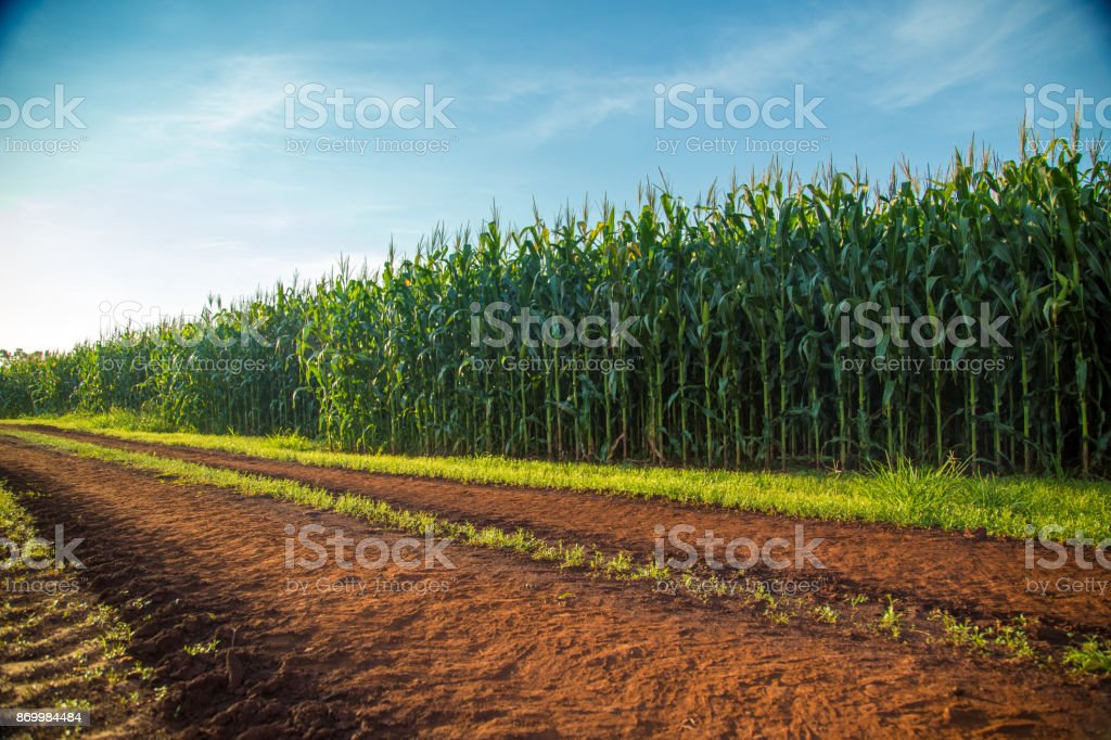 Corn - Royalty-free Agricultura Foto de stock