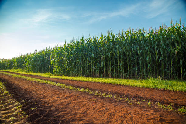 玉米 - 田地 個照片及圖片檔