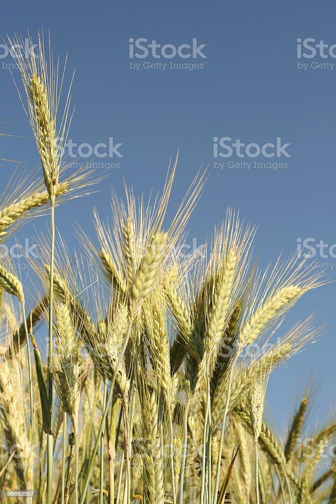 Corn Lizenzfreies stock-foto