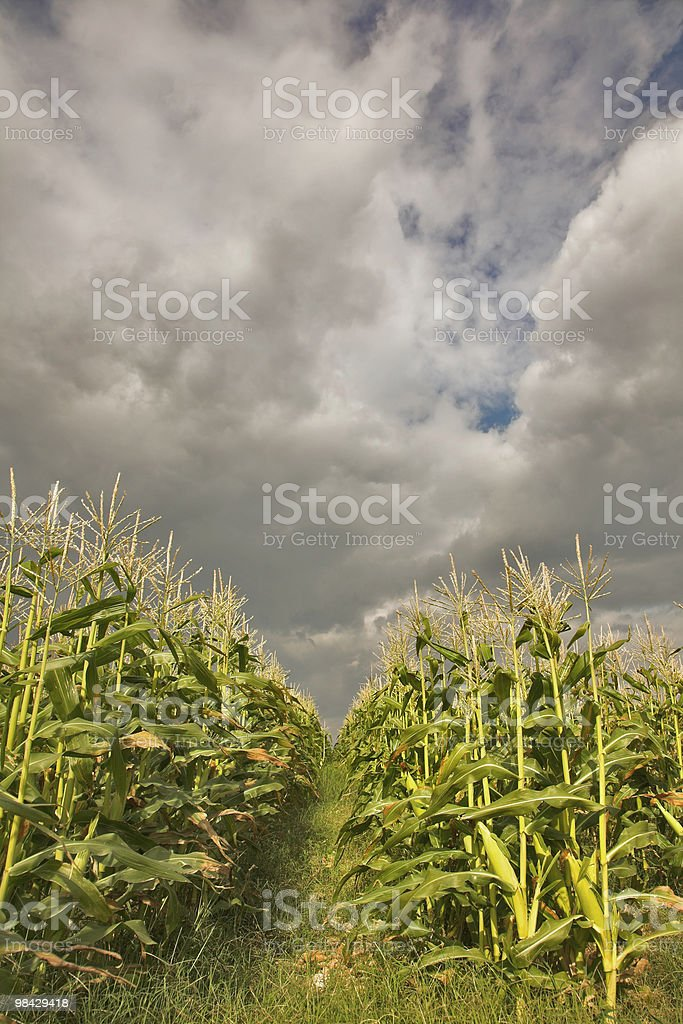 Corn. royalty-free stock photo