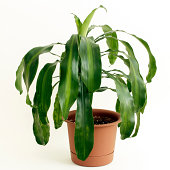 Corn Plant Houseplant